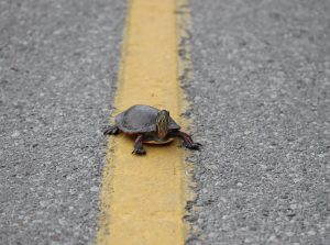 Painted turtle crossing the road. (photo credit Jory Mullen)