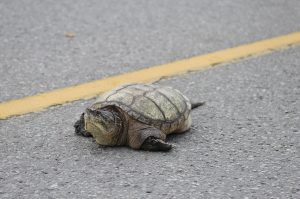 Adult female snapping turtle crossing the road looking for a place to lay her eggs (photo credit: Jory Mullen)